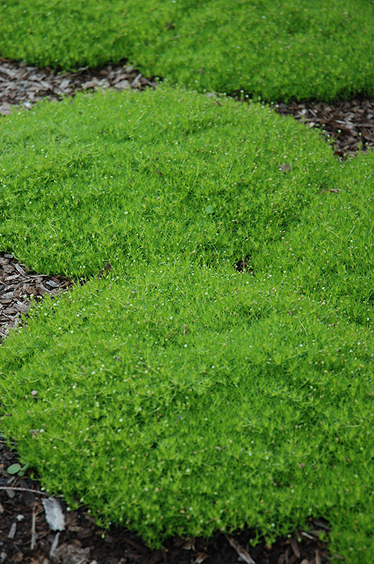 Irish Moss (Sagina subulata) at Wolf Hill Home & Garden