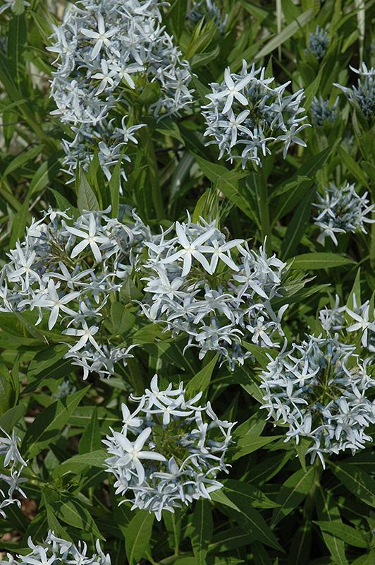 Blue Star Flower (Amsonia tabernaemontana) at Wolf Hill Home & Garden