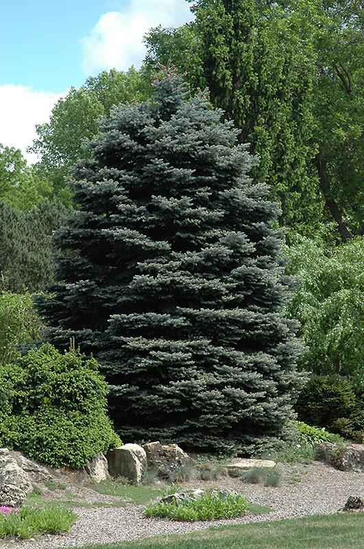 Fat Albert Blue Spruce (Picea pungens 'Fat Albert') at Wolf Hill Home & Garden