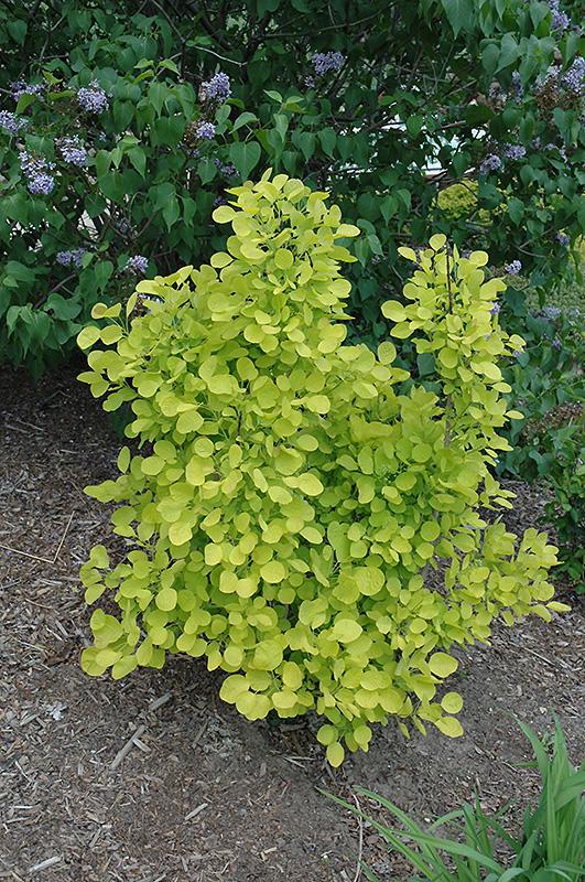 Golden Spirit Smokebush (Cotinus coggygria 'Golden Spirit') at Wolf Hill Home & Garden
