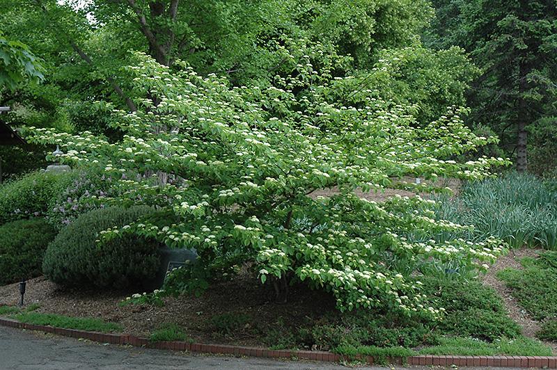 Pagoda Dogwood (Cornus alternifolia) at Wolf Hill Home & Garden