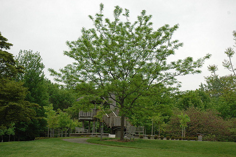 Imperial Honeylocust (Gleditsia triacanthos 'Impcole') at Wolf Hill Home & Garden