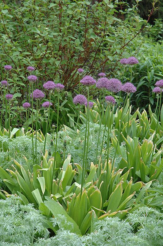 Purple Sensation Ornamental Onion (Allium 'Purple Sensation') at Wolf Hill Home & Garden