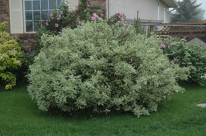 Ivory Halo Dogwood (Cornus alba 'Ivory Halo') at Wolf Hill Home & Garden