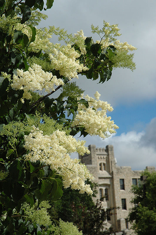 Ivory Silk Japanese Tree Lilac (Syringa reticulata 'Ivory Silk') at Wolf Hill Home & Garden