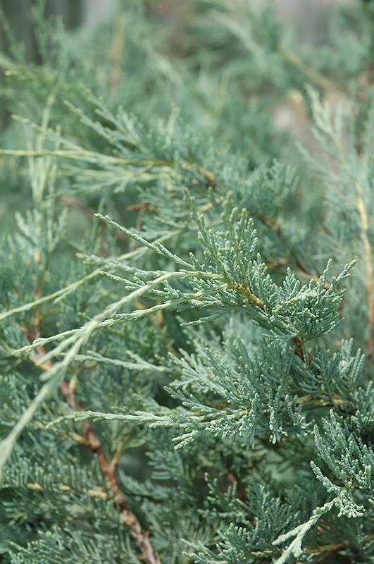 Moonglow Juniper (Juniperus scopulorum 'Moonglow') at Wolf Hill Home & Garden