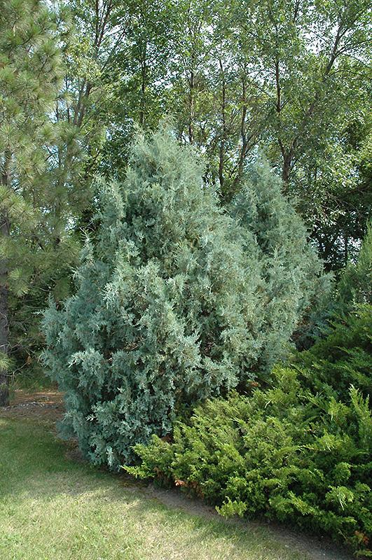 Wichita Blue Juniper (Juniperus scopulorum 'Wichita Blue') at Wolf Hill Home & Garden