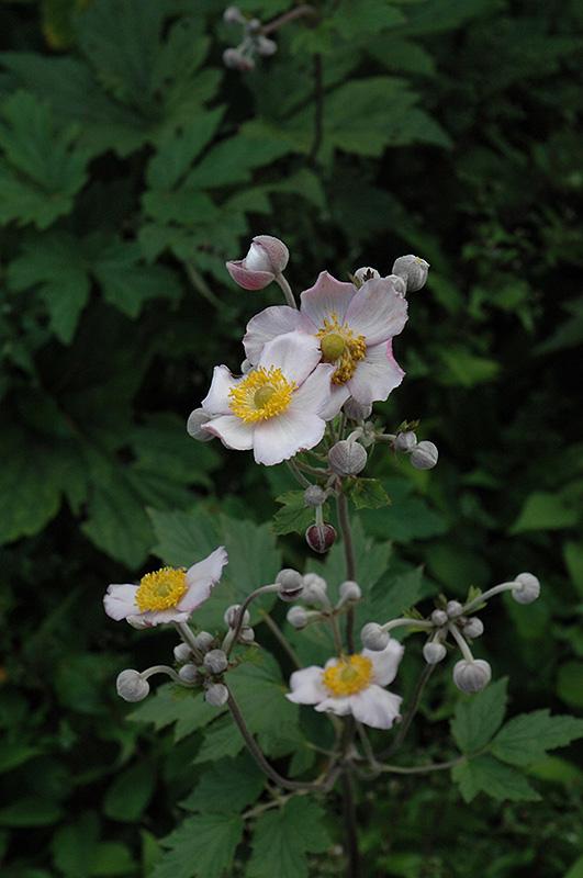Grapeleaf Anemone (Anemone tomentosa 'Robustissima') at Wolf Hill Home & Garden