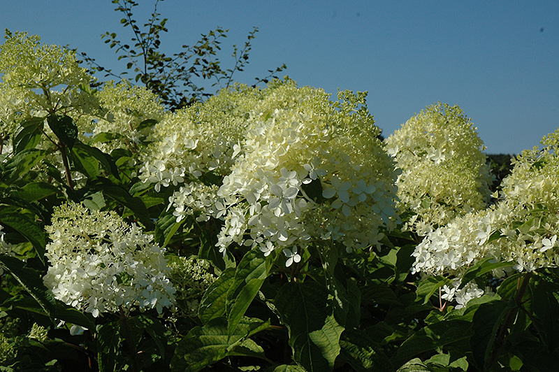 Phantom Hydrangea (Hydrangea paniculata 'Phantom') at Wolf Hill Home & Garden