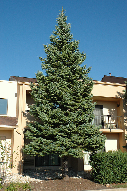 White Fir (Abies concolor) at Wolf Hill Home & Garden