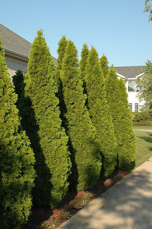 Emerald Green Arborvitae (Thuja occidentalis 'Smaragd') at Wolf Hill Home & Garden