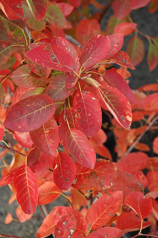Autumn Brilliance Serviceberry (Amelanchier x grandiflora 'Autumn Brilliance') at Wolf Hill Home & Garden