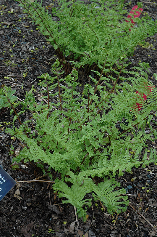 Crested Fern (Athyrium filix-femina 'Veroniae Cristata') at Wolf Hill Home & Garden