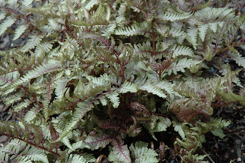 Red Beauty Painted Fern (Athyrium nipponicum 'Red Beauty') at Wolf Hill Home & Garden