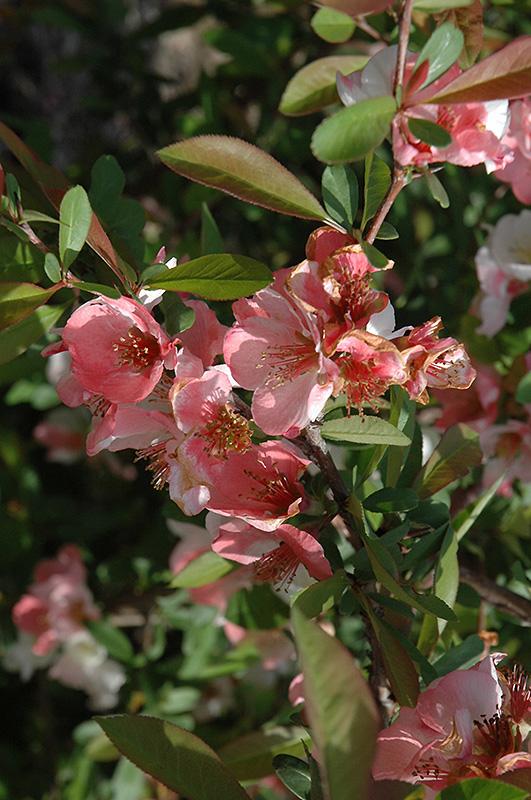 Toyo-Nishiki Flowering Quince (Chaenomeles speciosa 'Toyo-Nishiki') at Wolf Hill Home & Garden