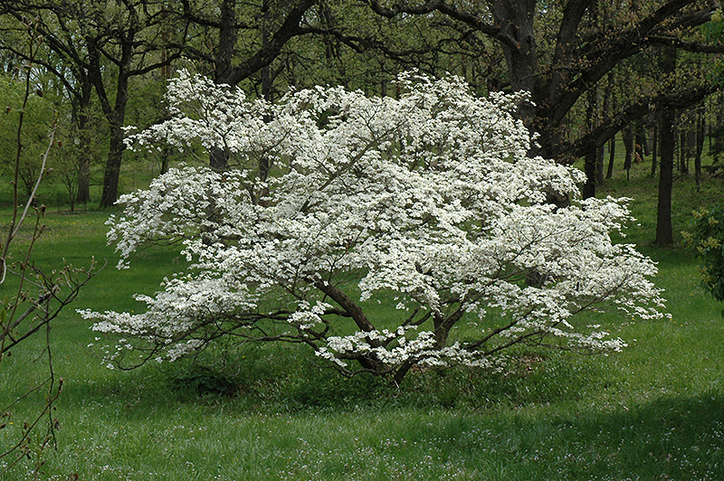Cherokee Princess Flowering Dogwood (Cornus florida 'Cherokee Princess') at Wolf Hill Home & Garden