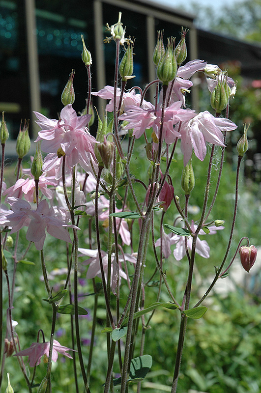 Apple Blossom Columbine (Aquilegia 'Apple Blossom') at Wolf Hill Home & Garden