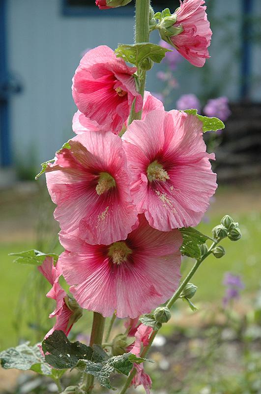 Pink Hollyhock (Alcea rosea 'Pink') at Wolf Hill Home & Garden