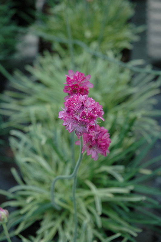 Nifty Thrifty Sea Thrift (Armeria maritima 'Nifty Thrifty') at Wolf Hill Home & Garden