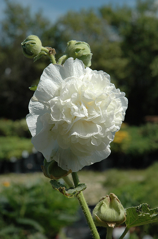 Chater's Double White Hollyhock (Alcea rosea 'Chater's Double White') at Wolf Hill Home & Garden