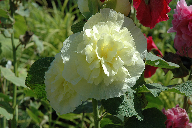 Chater's Double Yellow Hollyhock (Alcea rosea 'Chater's Double Yellow') at Wolf Hill Home & Garden
