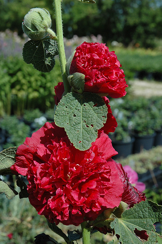 Chater's Double Red Hollyhock (Alcea rosea 'Chater's Double Red') at Wolf Hill Home & Garden
