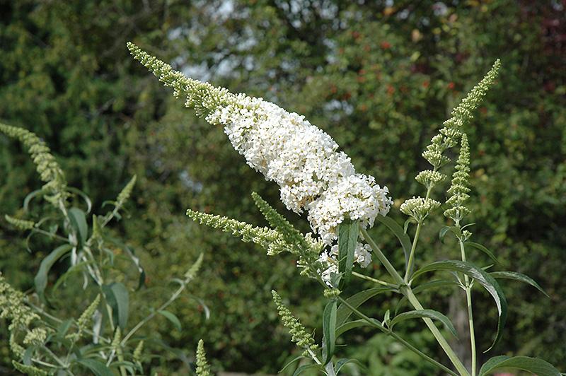White Profusion Butterfly Bush (Buddleia davidii 'White Profusion') at Wolf Hill Home & Garden