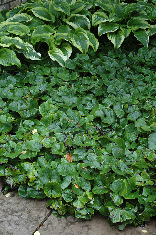 Canadian Wild Ginger (Asarum canadense) at Wolf Hill Home & Garden