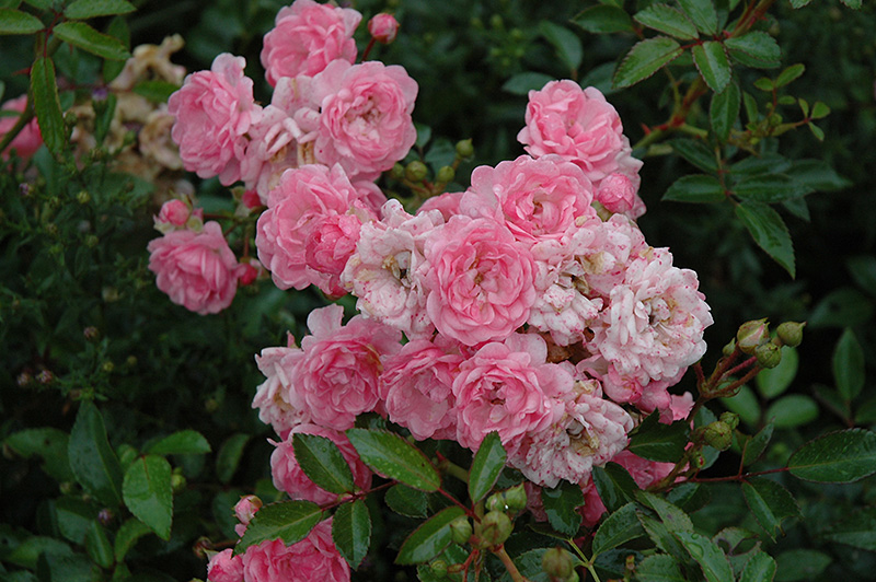 The Fairy Rose (Rosa 'The Fairy') at Wolf Hill Home & Garden