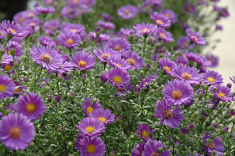 Believer Aster (Aster 'Yobeliever') at Wolf Hill Home & Garden