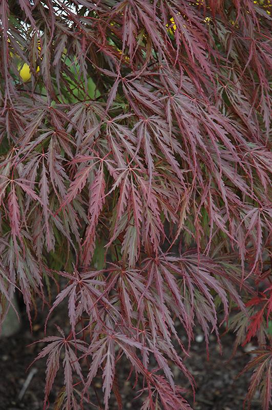 Tamukeyama Japanese Maple (Acer palmatum 'Tamukeyama') at Wolf Hill Home & Garden