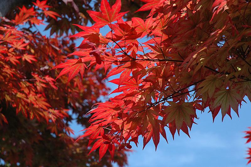 Oshio Beni Japanese Maple (Acer palmatum 'Oshio Beni') at Wolf Hill Home & Garden