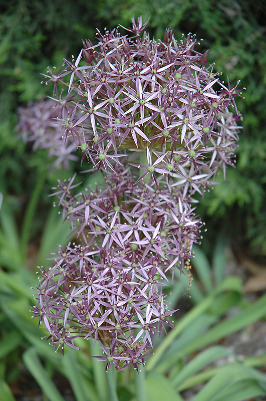 Star Of Persia Onion (Allium christophii) at Wolf Hill Home & Garden