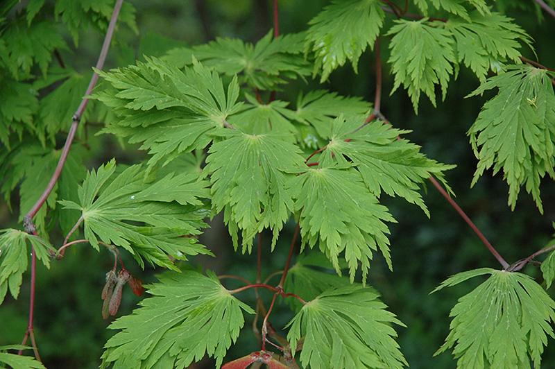Cutleaf Fullmoon Maple (Acer japonicum 'Aconitifolium') at Wolf Hill Home & Garden