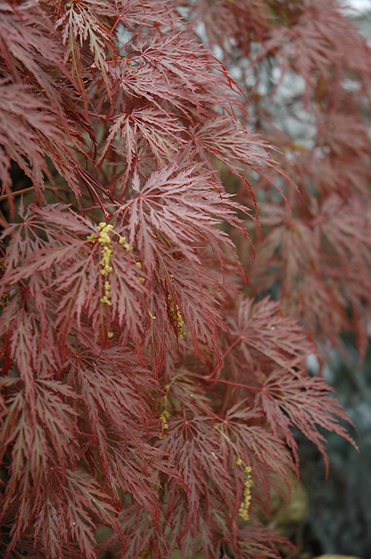 Inaba Shidare Cutleaf Japanese Maple (Acer palmatum 'Inaba Shidare') at Wolf Hill Home & Garden