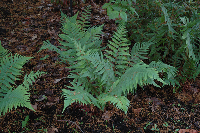 Dixie Wood Fern (Dryopteris x australis) at Wolf Hill Home & Garden