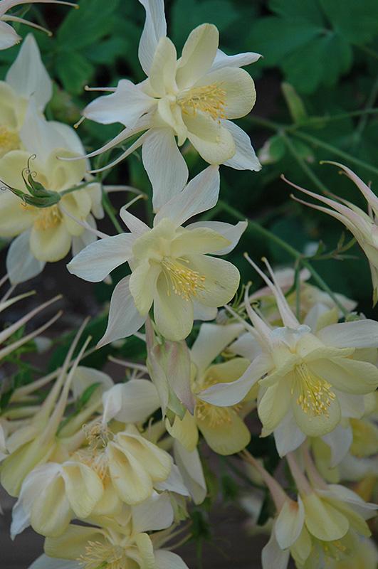 Origami Yellow and White Columbine (Aquilegia 'Origami Yellow and White') at Wolf Hill Home & Garden