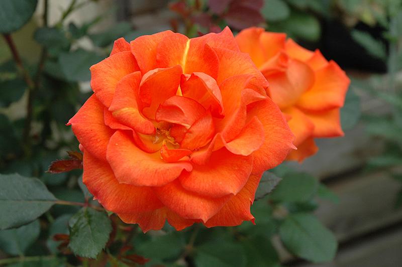 Gingersnap Rose (Rosa 'Gingersnap') at Wolf Hill Home & Garden