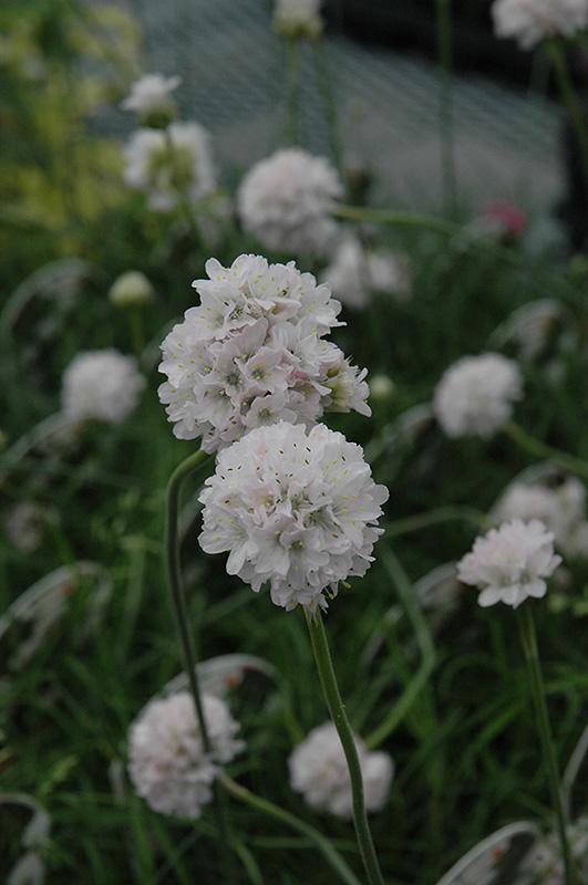 White Sea Thrift (Armeria maritima 'Alba') at Wolf Hill Home & Garden