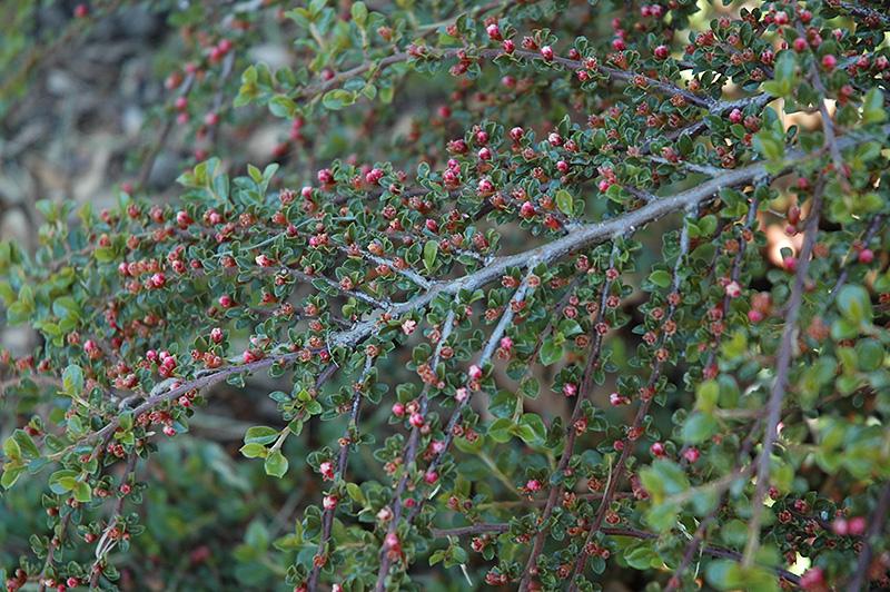 Rockspray Cotoneaster (Cotoneaster horizontalis 'var. perpusillus') at Wolf Hill Home & Garden