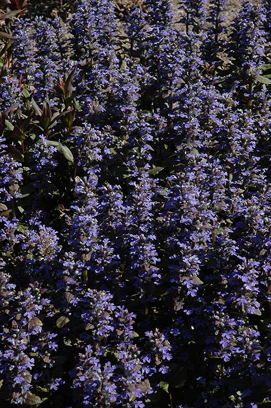 Purple Brocade Bugleweed (Ajuga reptans 'Purple Brocade') at Wolf Hill Home & Garden