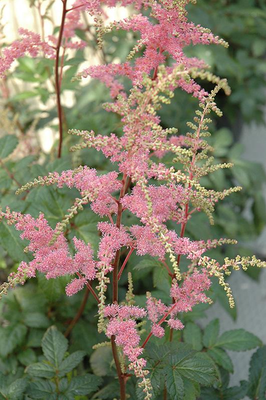 Bressingham Beauty Astilbe (Astilbe x arendsii 'Bressingham Beauty') at Wolf Hill Home & Garden