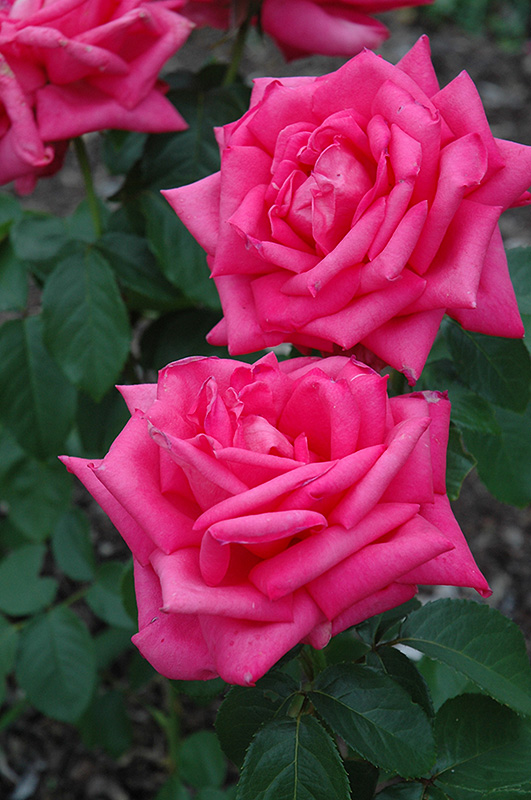 Miss All American Beauty Rose (Rosa 'Miss All American Beauty') at Wolf Hill Home & Garden