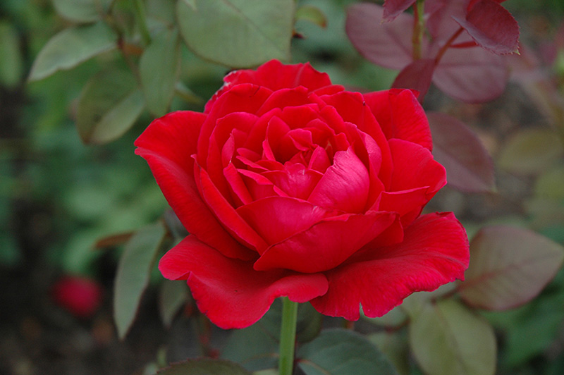 Mister Lincoln Rose (Rosa 'Mister Lincoln') at Wolf Hill Home & Garden