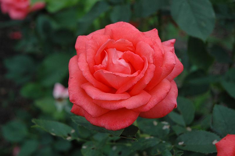 Tropicana Rose (Rosa 'Tropicana') at Wolf Hill Home & Garden