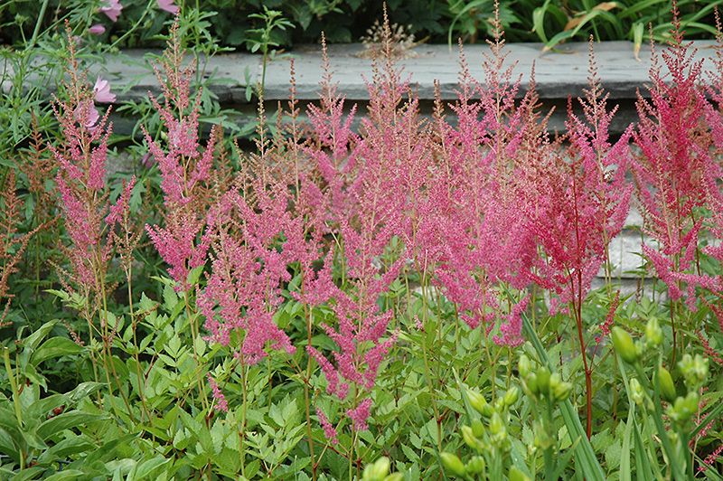 Visions in Pink Chinese Astilbe (Astilbe chinensis 'Visions in Pink') at Wolf Hill Home & Garden