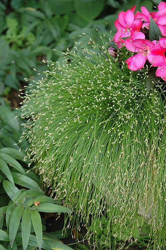 Fiber Optic Grass (Isolepis cernua) at Wolf Hill Home & Garden