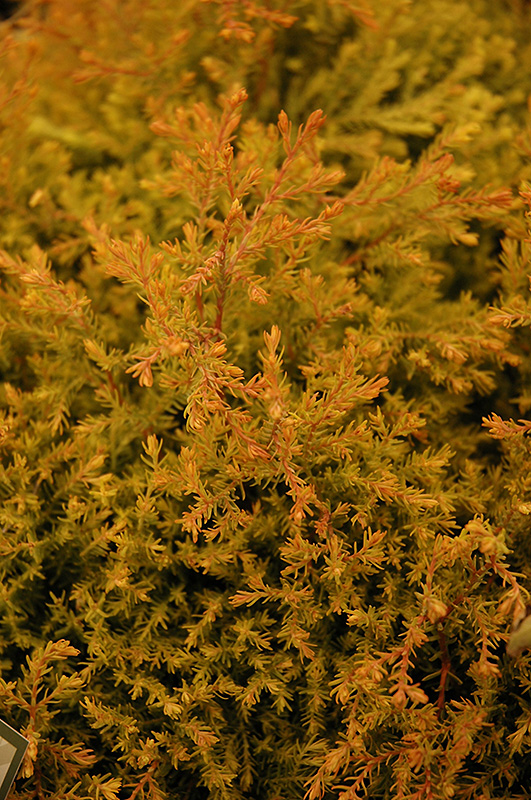 Fire Chief Arborvitae (Thuja occidentalis 'Congabe') at Wolf Hill Home & Garden
