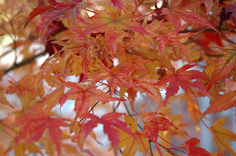 Butterfly Variegated Japanese Maple (Acer palmatum 'Butterfly') at Wolf Hill Home & Garden