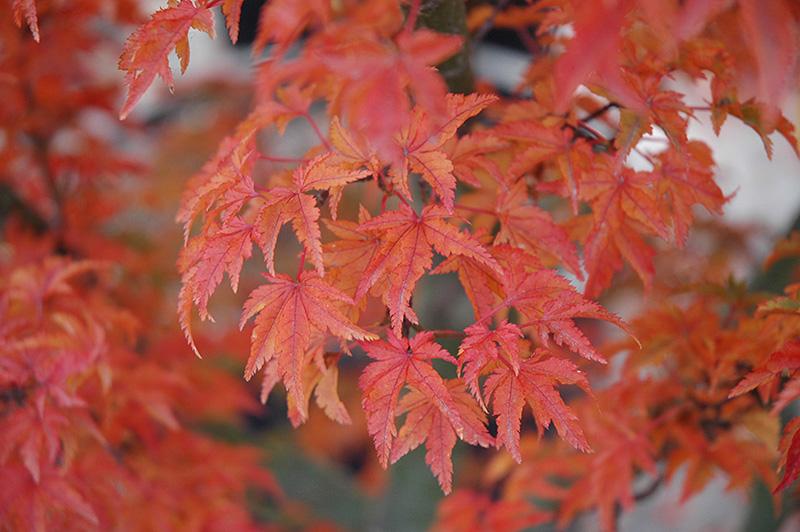 Lions Head Japanese Maple (Acer palmatum 'Shishigashira') at Wolf Hill Home & Garden